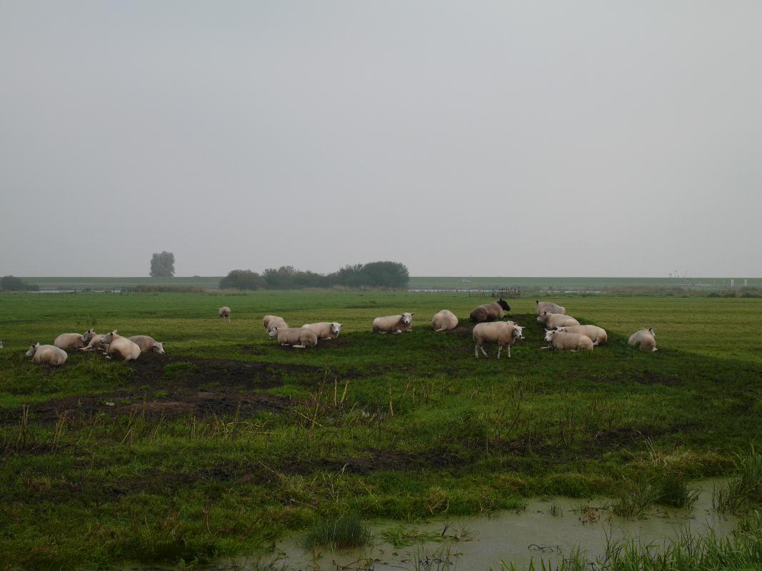 Nederland, Zuiderwoude 6 oktober 2010schapen in weiland bij Zuiderwoude, met mistFoto: Marijke bresser/ Hollandse Hoogte